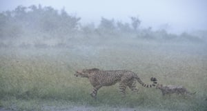 Wildlife Insight runner-up, Jose Fragozo (Portugal)'Imani is a well-known female cheetah in the Maasai Mara national reserve in Kenya. She is recognisable by the 'bracelet' of spots around the left front leg. This image shows Imani and her cub during a rainstorm, crossing an area with a high density of lions and hyenas. To avoid predators, cheetahs move their cubs around to different places every few days. However, seeing a cheetah moving its cub in a severe rainstorm is a very rare phenomenon.'