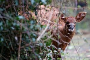 An eastern bongo calf born at Dublin Zoo, Ireland