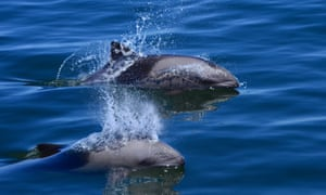 The Humane Society said swimming-with-dolphins attractions are also risky for people.