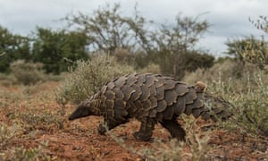 A Pangolin rescued from the wildlife trade is released back into the wild.