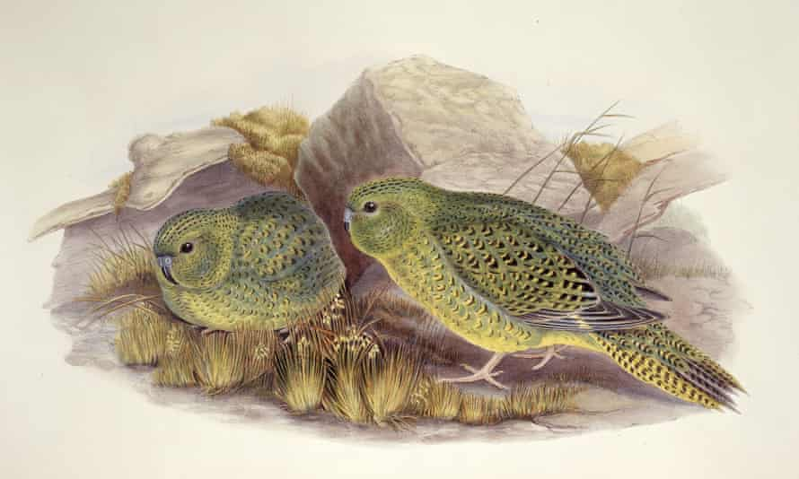 Pezoporus occidentalis – night parrot