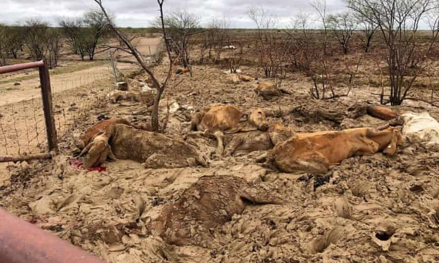 Dead cattle at Eddington station 20km west of Julia Creek, Queensland