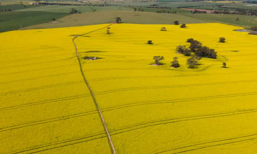 An aerial view of canola fields in full bloom