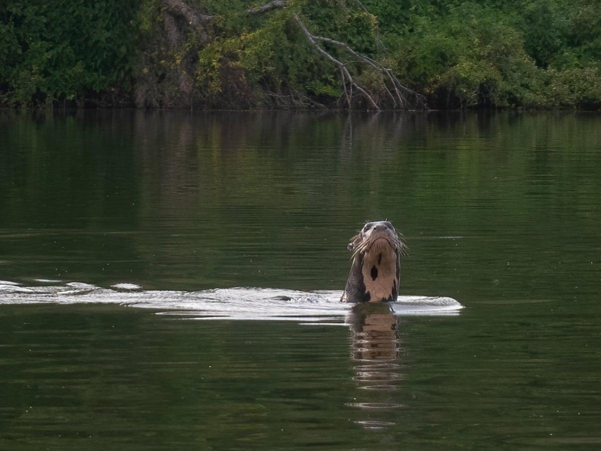 消失40年瀕危「巨獺」現身 保育員秒拍照「怕沒人相信我」