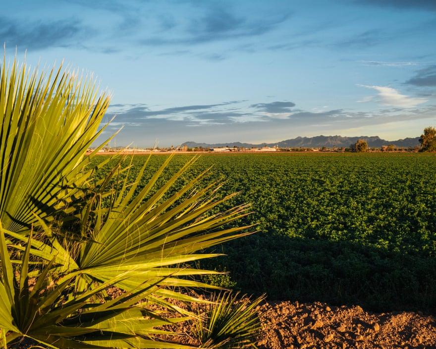 A field of alfalfa, Blythe, California, 2019