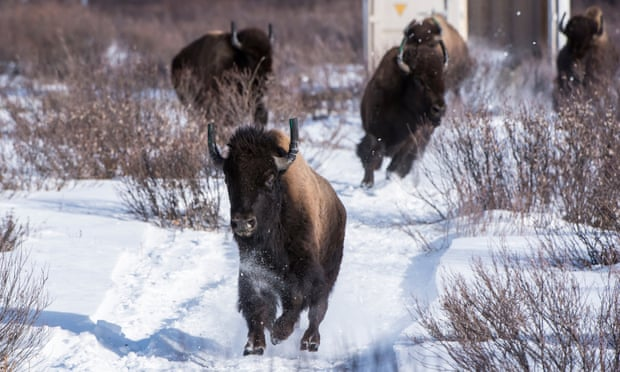 Wild bison take their first steps in their new home in Banff national park in Alberta, Canada.