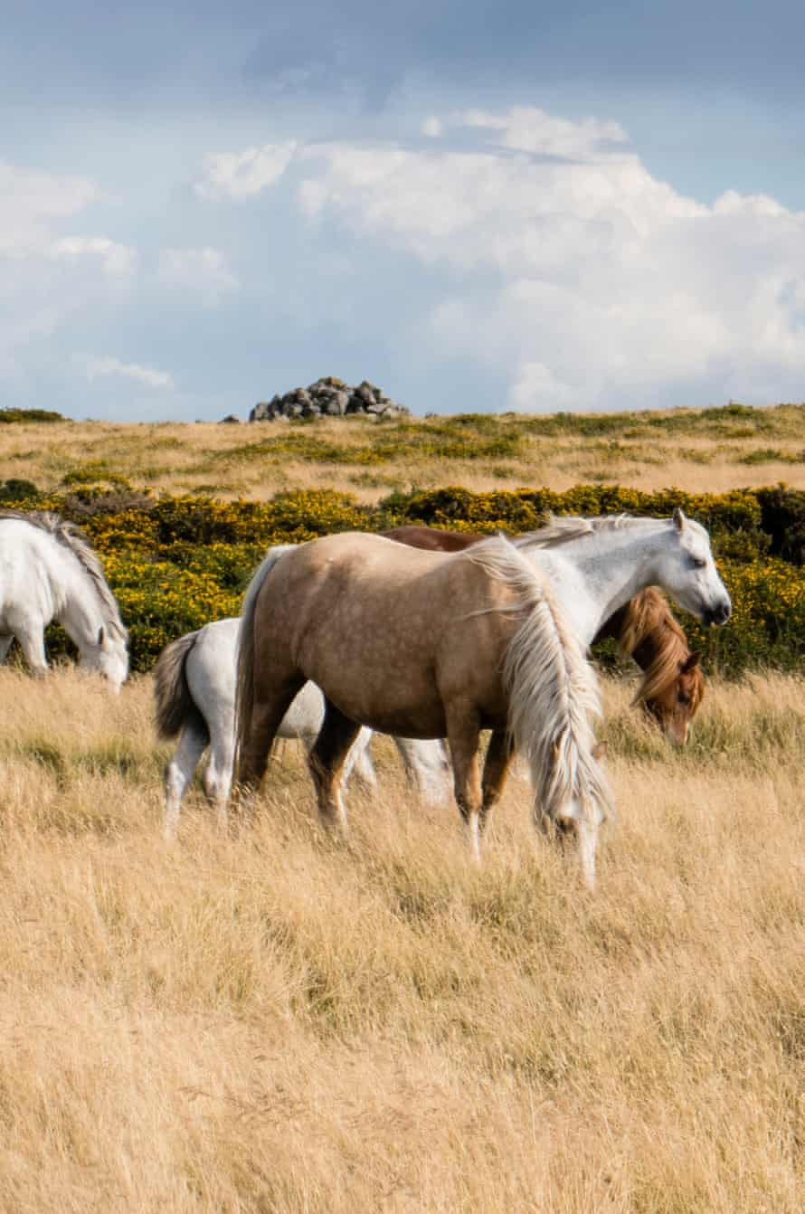 Wild horses on Hergest Ridge- image taken from Offa's Dyke National Trail between Hay-on-Wye and Kington in Powys