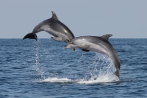 Dolphins in the northern Adriatic