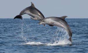 The US navy has 70 bottlenose dolphins and 30 sea lions at a naval base in San Diego, California.