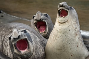 Elephant seals are among the mammals in the modern world that have penis bones. Its shape is probably connected to their mating practices.