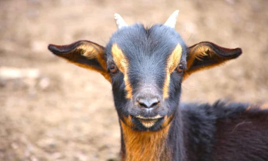 A goat at Puesto Pascuala