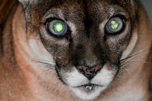 A puma awaits an eye test at Santa Fe zoo in Medellín, Colombia