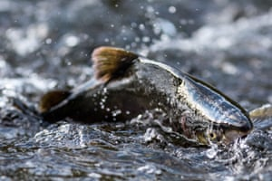 Salmon leaping from the water