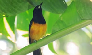 Montserrat's native bird, the black and yellow oriole.