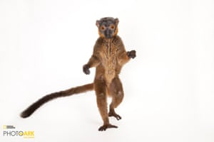 A red collared brown lemur
