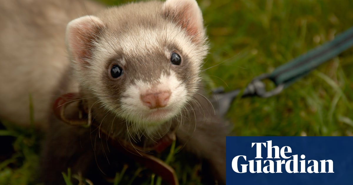 Ferrets And Tarantulas Among Pets To Find New Homes In Lockdown Pets The Guardian