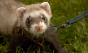 'They're so clever and connected to their owners': a ferret owner's verdict of her new pet.