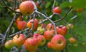 Blenheim Orange: 'An addictive apple.'