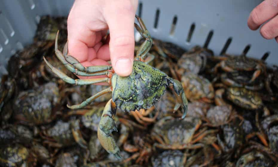 European green crabs could become a new market as a delicacy in restaurants, boiled for stock or flavoring, or minced for pet food or fertilizer.