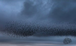 A murmuration of starlings come home to roost as the sun sets in Marazion, Cornwall, UK