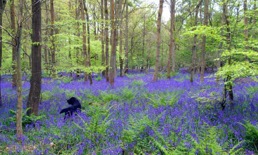 Bluebells, Christmas Common, OxfordshireOxfordshire. Image shot 05/2009. Exact date unknown.