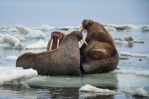 Pacific walruses on an ice floe by Cape Dezhnev, the easternmost mainland point of Russia