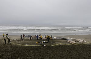 Veterinarians work on removing pieces from the carcass of a large male blue whale that washed ashore at Thornton state beach in California, US