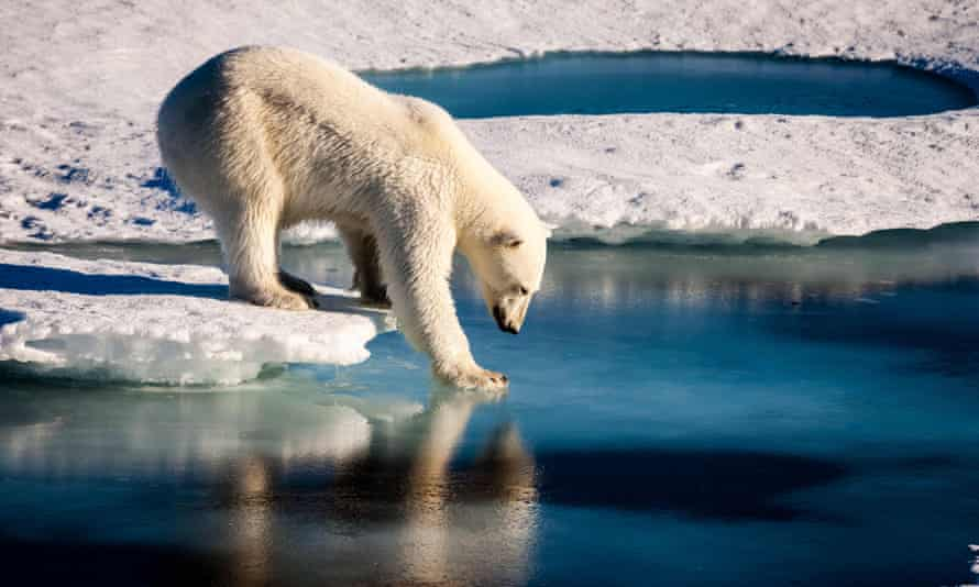 This file photo taken on August 22, 2015 shows a handout photo provided by the European Geosciences Union of a polar bear testing the strength of thin sea ice in the Arctic.