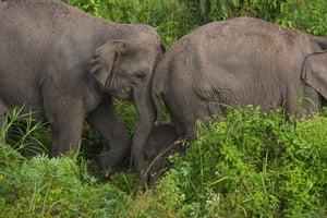 Endangered Sumatran elephants at Balai Raja Wildlife Reserve in Pekanbaru, Indonesia