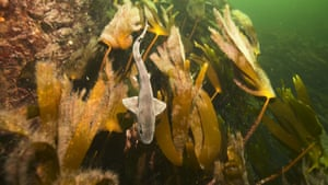 A dog fish in a kelp bed