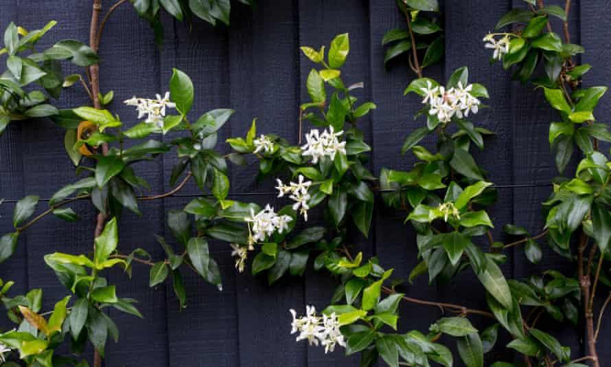 Trachelospermum jasminoides is a doddle to grow.