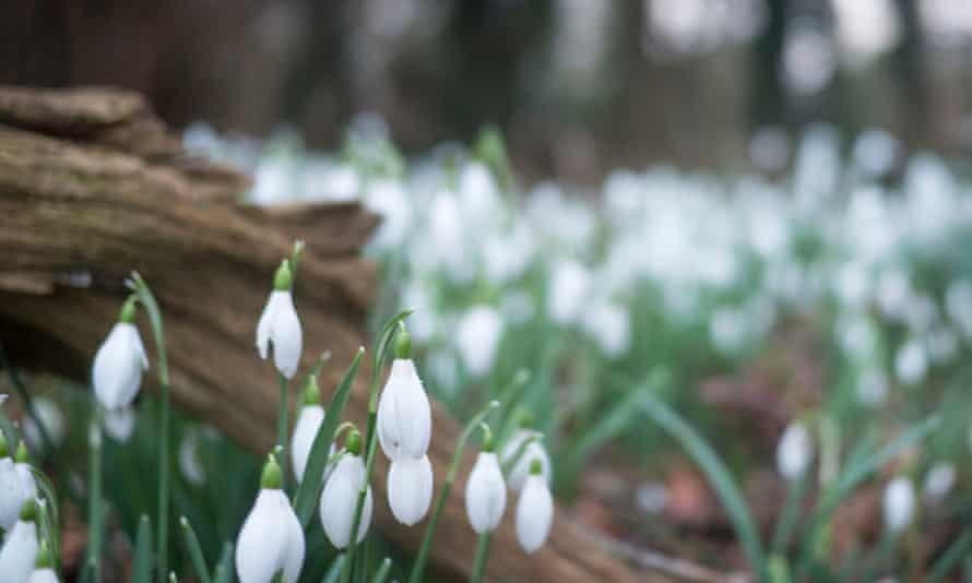 Snowdrops in Elveden, Suffolk