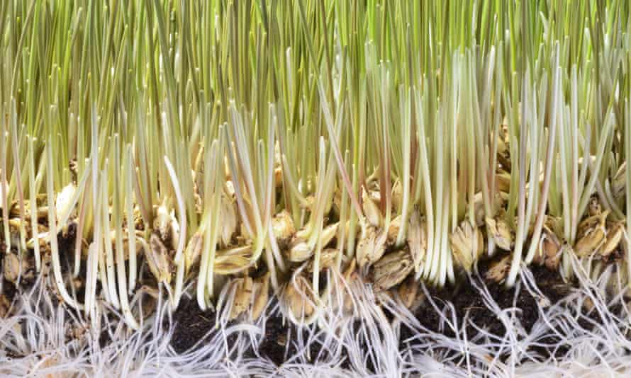 'Cinnamon can work wonders for damping off': wheatgrass seeds germinating.