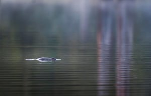 A platypus on Lake Elizabeth, Victoria