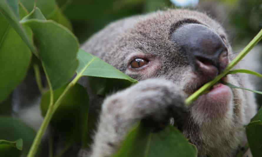 Koala at Taronga zoo in Sydney