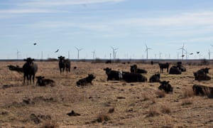 Louis Brooks claims that the cows on his ranch do not mind the wind turbines, saying that they often sleep in the shade of the turbines in the summer.