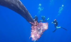 Mediterranean Sea: Italian coastguard divers work to free a sperm whale caught in a fishing net north of the Sicilian Aeolian Islands.