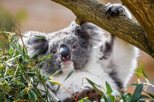 A southern koala grazes on eucalyptus leaves at a new enclosure in Longleat safari park, Wiltshire