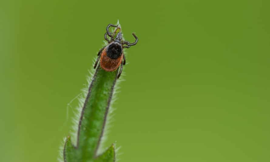 Adult tick (Ixodes ricinus) on plant<br>Adult tick (Ixodes ricinus) on plant