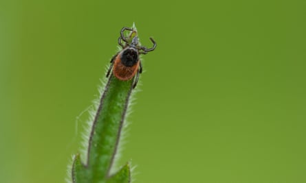 Adult tick on a plant
