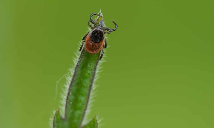 adult ixodes ricinus tick on a leaf