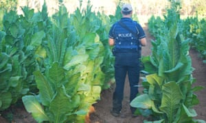 tobacco fields in northern territory