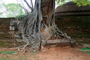 Buttress roots of a banyan tree in the ancient city of Polonnaruwa, Sri Lanka