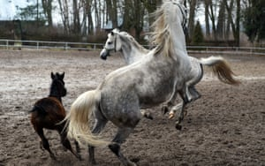 Horses playing in Poland's state-owned Janów Podlaski stud farm