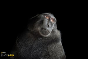 A Celebes crested macaque (Macaca nigra)