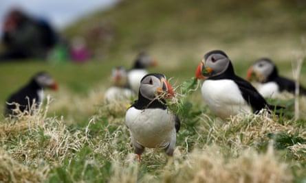 Atlantic puffins in their mating plumage on the island of Lunga in the Inner Hebrides