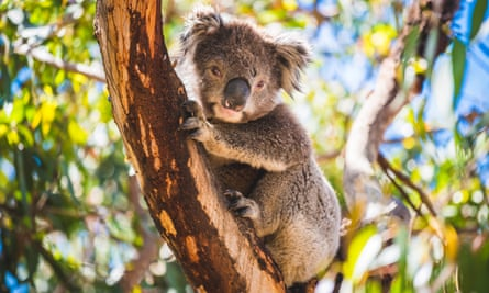 File photo of a koala in a eucalyptus tree