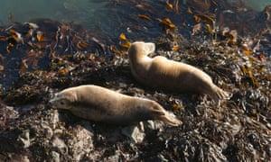Atlantic grey seals , Skomer Island