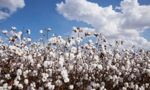 Open cotton at harvest stageEngland, Arkansas, United States of America