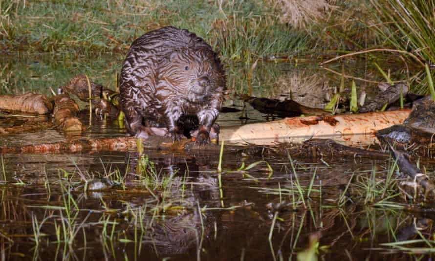 Eurasian beaver (Castor fiber) balanced on a branch it has cut at a feeding station in its pond at Tayside, Scotland.